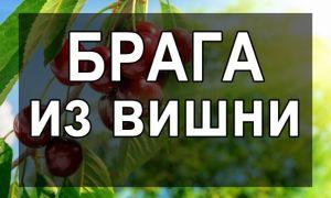 Брага из вишни в домашних условиях- простые рецепты