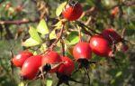 Настойка шиповника — рецепт приготовления, польза и вред