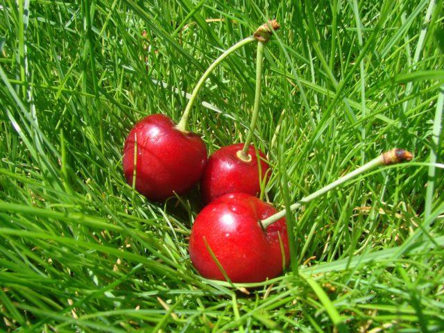 Вишня на траве