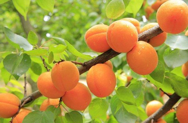ветка вместе с абрикосами