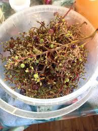 гребешки винограда