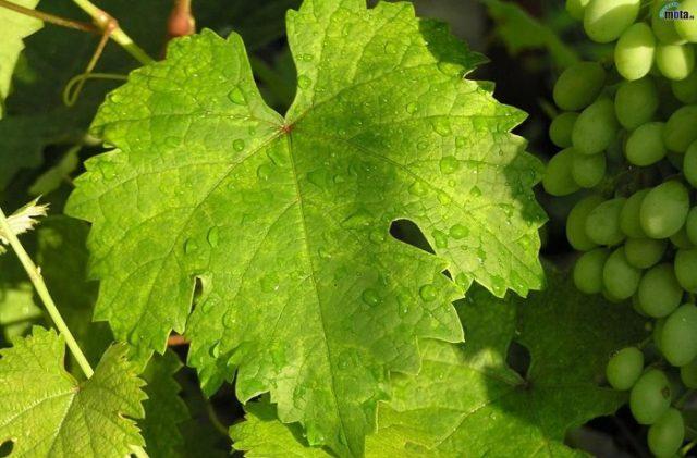 хорошие листья винограда