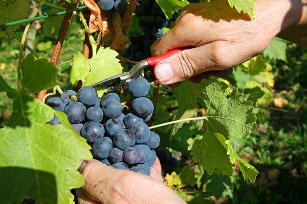 срезаем гроздья винограда