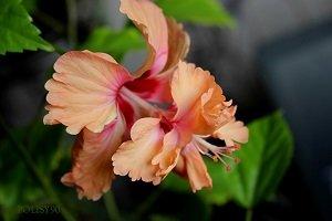 орхидея ГИБИСКУС
