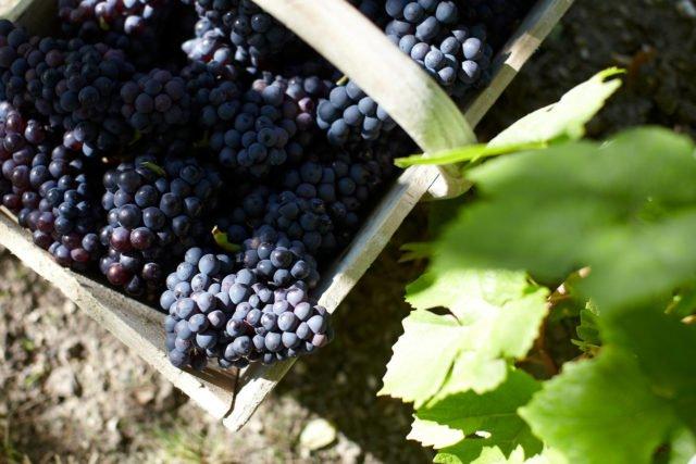 грозди Пино Нуар
