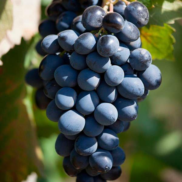виноград Vitis Labrusca