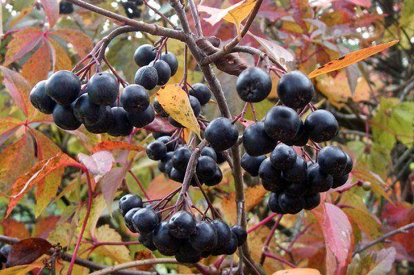 черноплодка куст