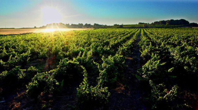 виноградники Лангедока