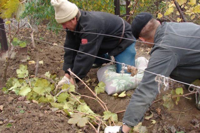 подготовка виноградника к зиме