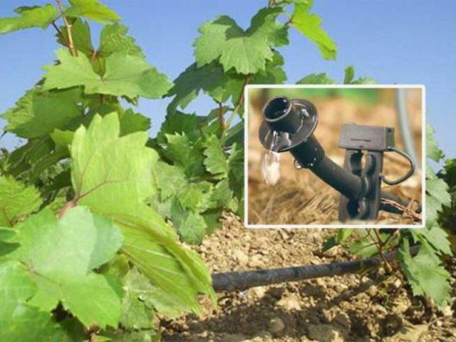 полив саженцев винограда