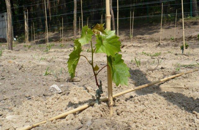 посадка саженца винограда