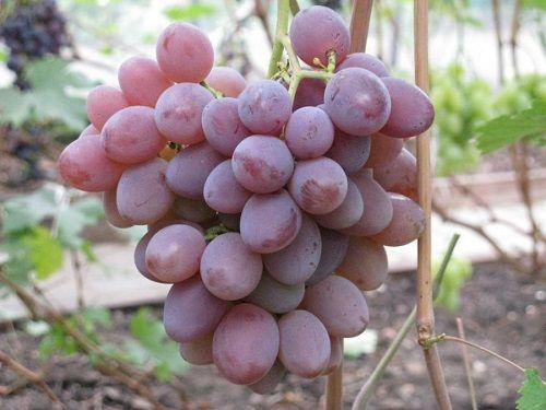 розово-пурпурный виноград