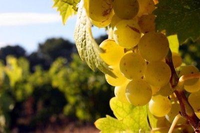 винограда Глера