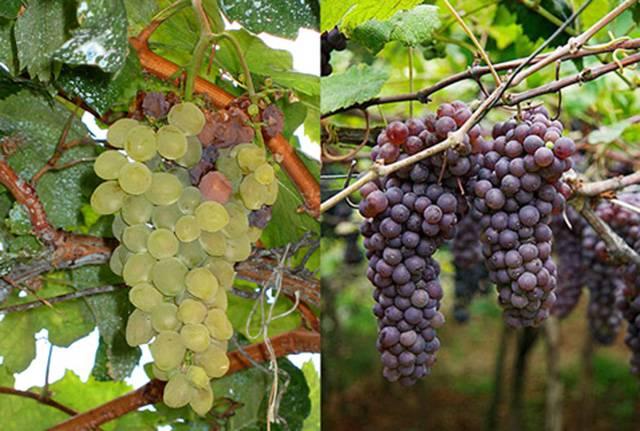Виноград Мадера