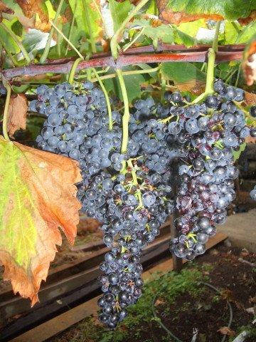 виноград Тинта Негра Моль