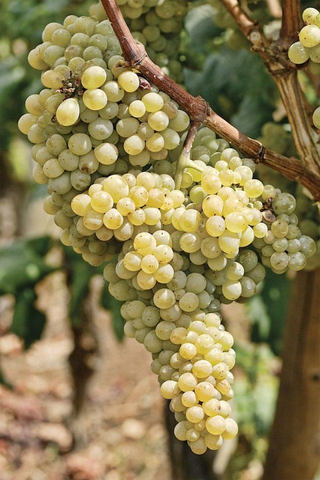 виноград Серсиаль