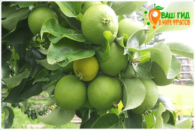 Копченая груша, польза и вред фрукта, метод его приготовления